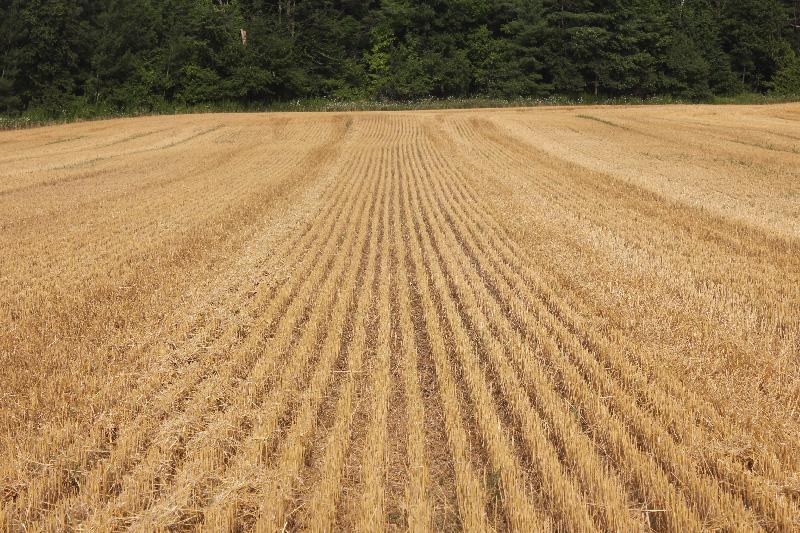 Wheat8