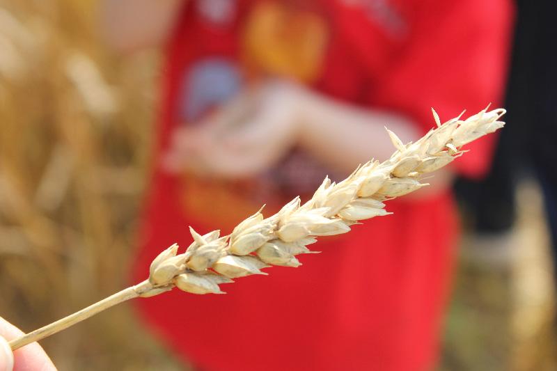 Wheat14
